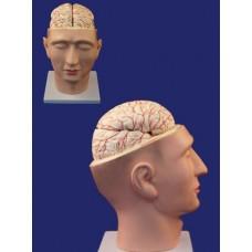 SMD12612 Голова с мозгом
