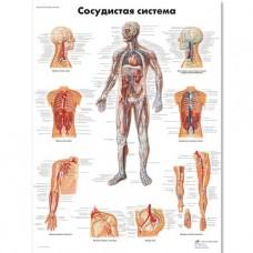 "Медицинский плакат ""Сосудистая система"""